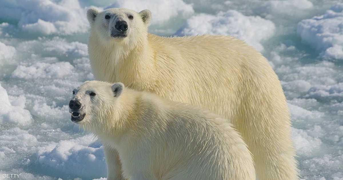 تغير الطقس وتحرك الجيش.. فبدأ هجوم الدببة القطبية