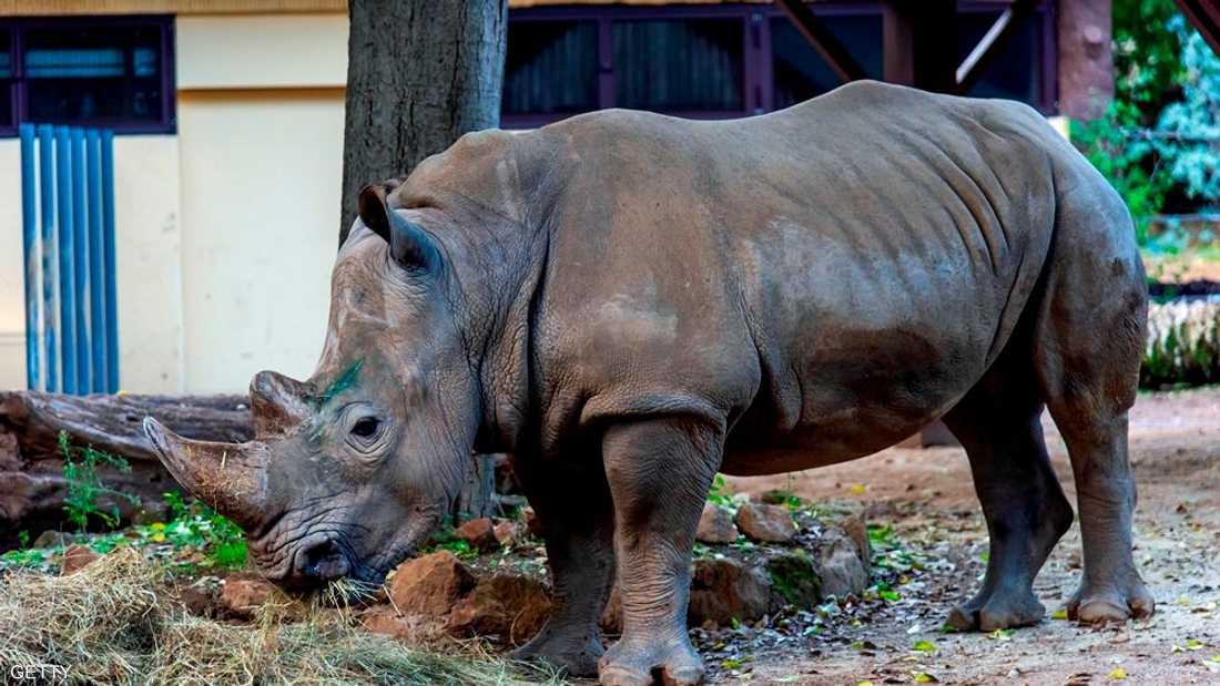 بعد انقراض الذكور.. جنين حيوان شبه منقرض من أم بديلة