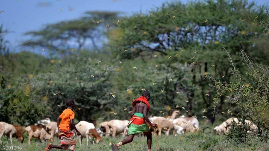 جراد كينيا.. غزوة بالملايين