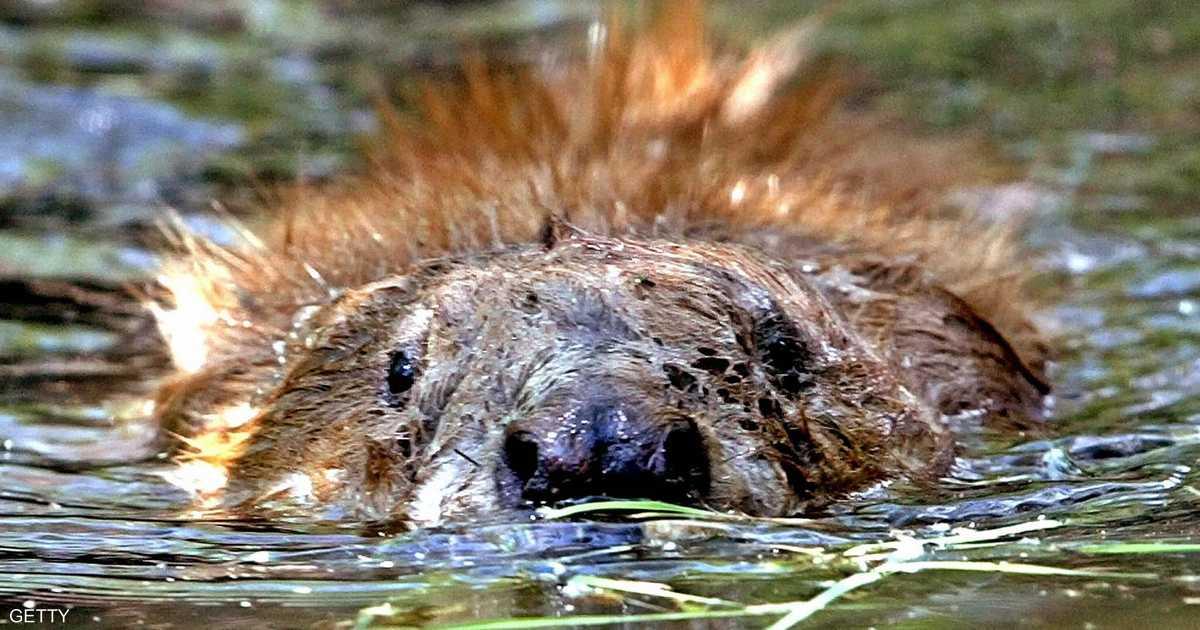 دراسة تكشف دورا جوهريا لحيوان نهري.. فكيف أنقذ الإنسان؟