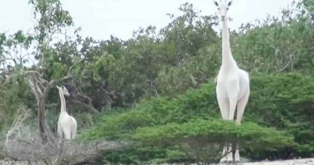 صيادون يقتلون زرافة بيضاء نادرة في كينيا
