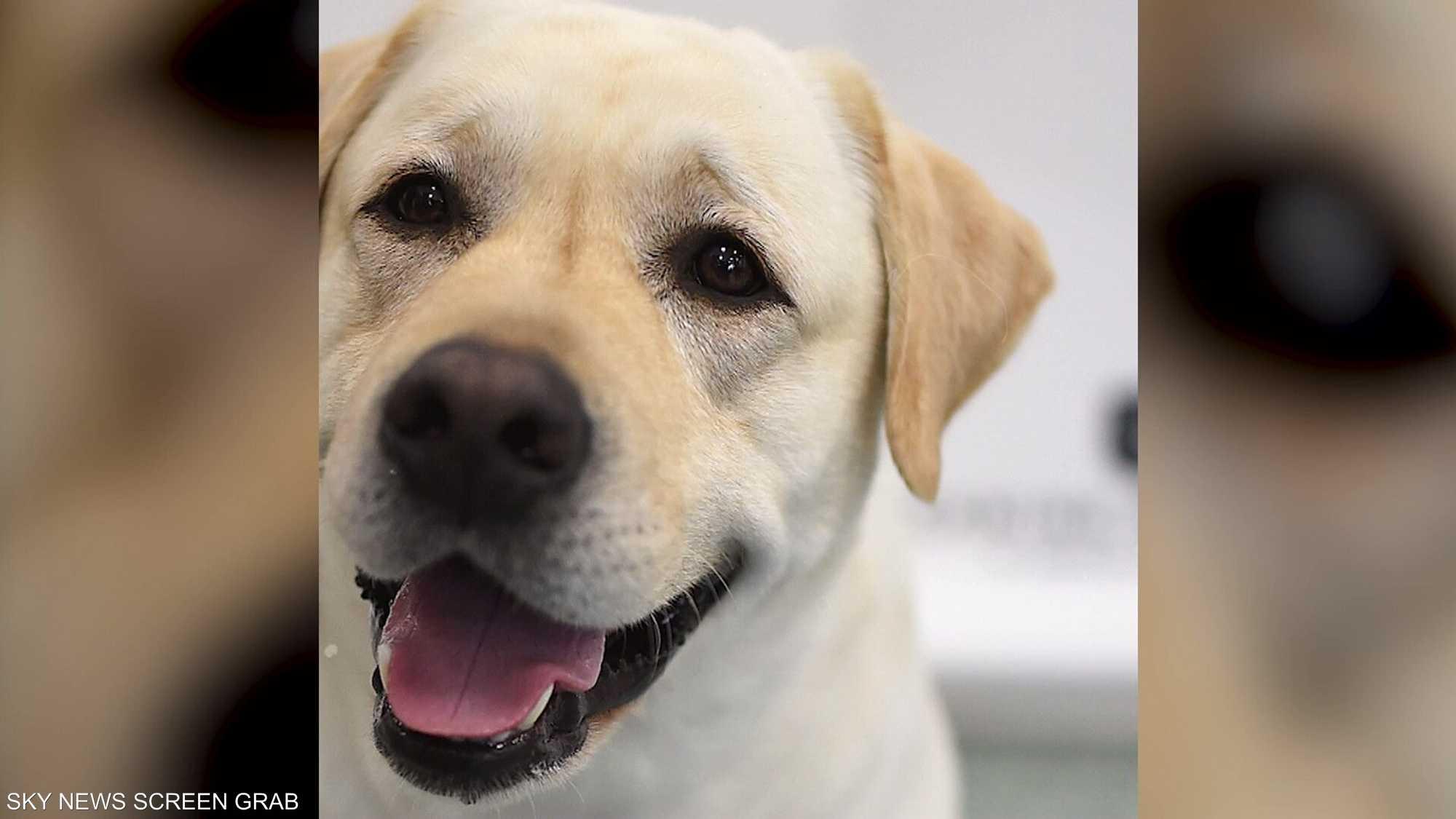 تجارب لكشف كورونا عبر حاسة الشم عند الكلاب