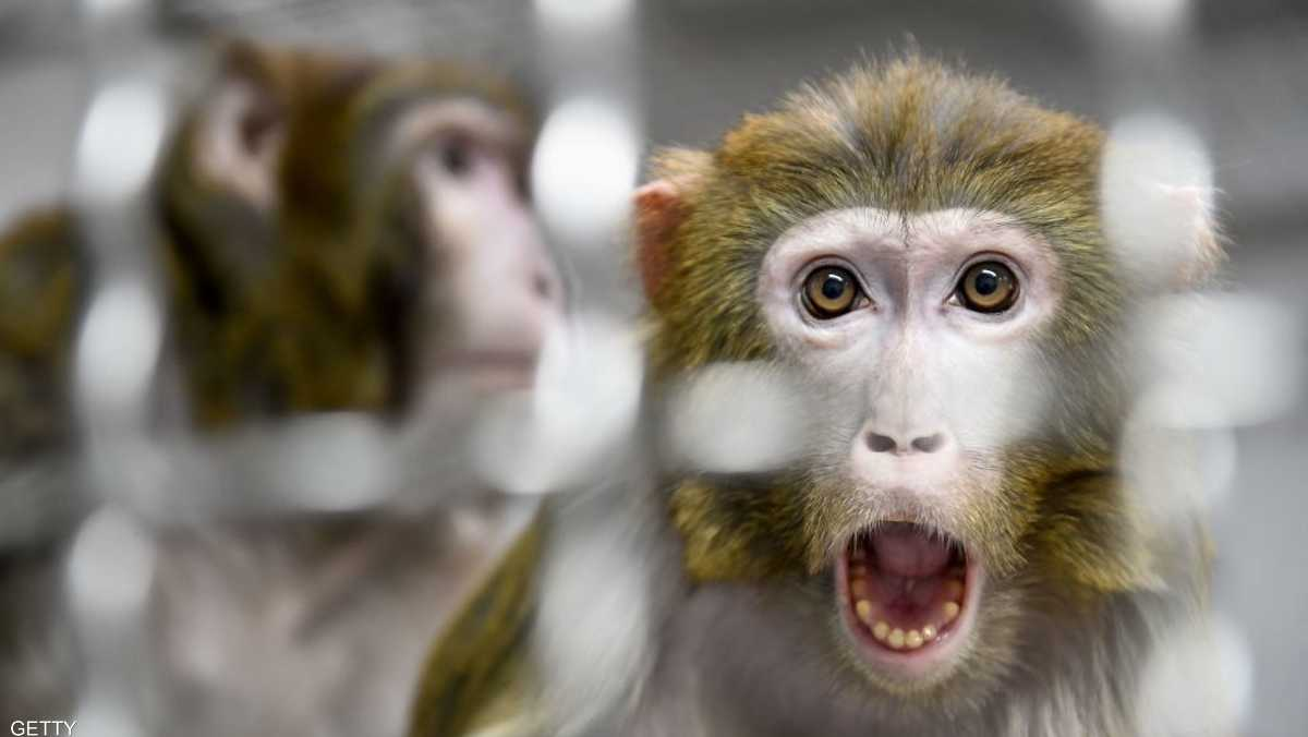 هارفارد: دراسة على القرود تكشف الحقيقة بشأن كورونا والمناعة