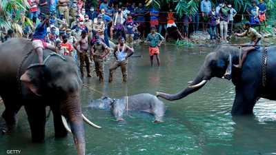 الفيل والأناناس المفخخ.. أول اعتقال بالواقعة التي هزت العالم