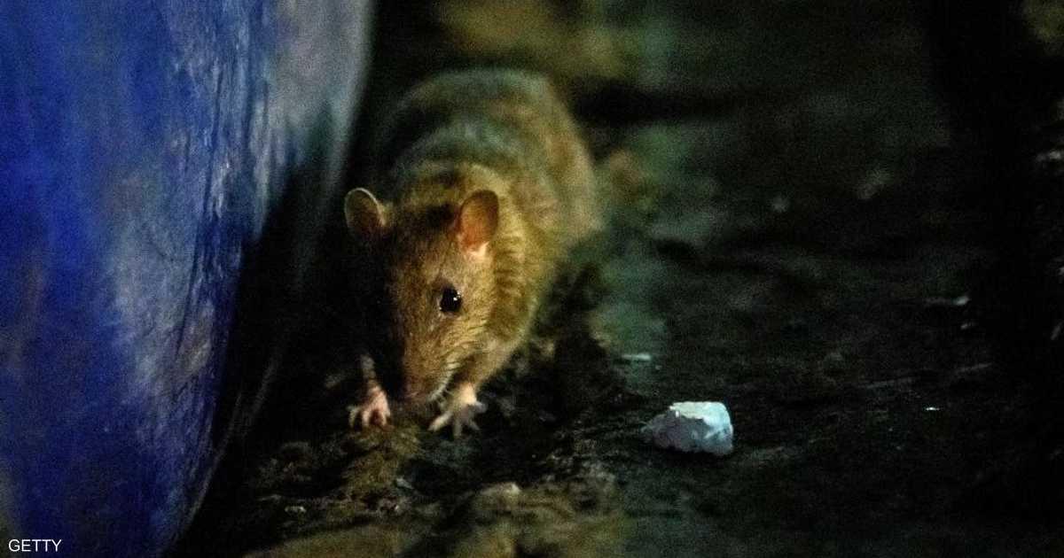 بسبب كورونا.. فئران جائعة وعدوانية تهاجم بيوت البريطانيين