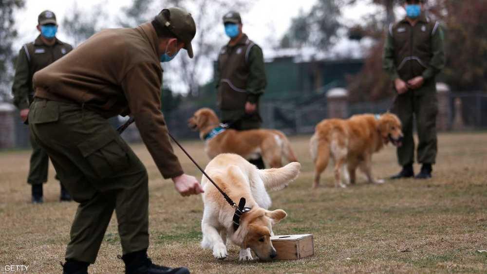 جانب من تدريب كلاب على شم فيروس كورونا في تشيلي