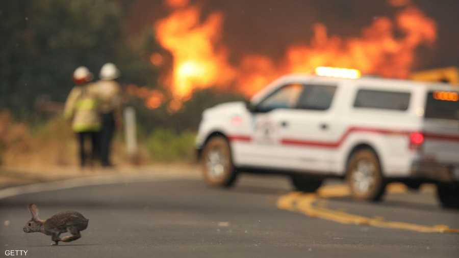 أرنب هارب من الحرائق التي التهمت غابات في كاليفورنيا.
