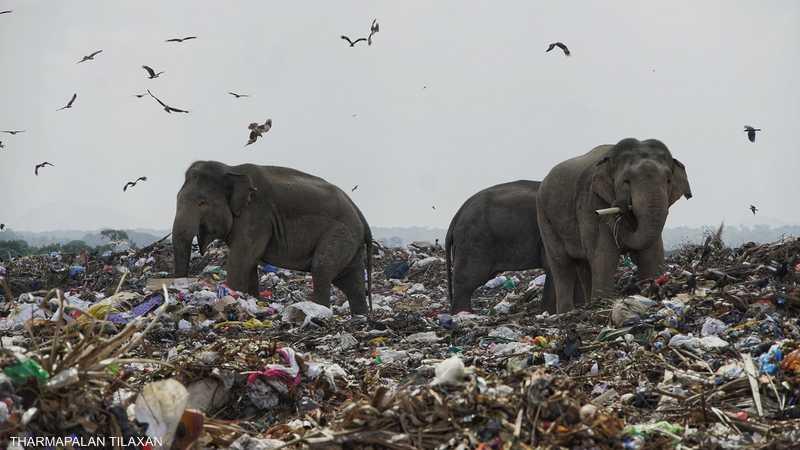 أفيال تأكل القمامة.. وباحثون يكتشفون