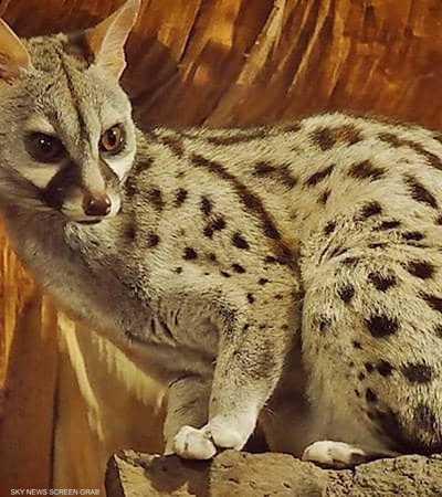 حيوان نادر يظهر في الجزائر بعد تراجع الأنشطة البشرية