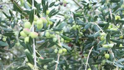 ارتفاع سعر ذهب تونس الأخضر بسبب تراجع الإنتاج