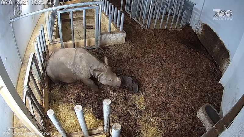 ولادة وحيد قرن هندي مهدد بالانقراض في بولندا