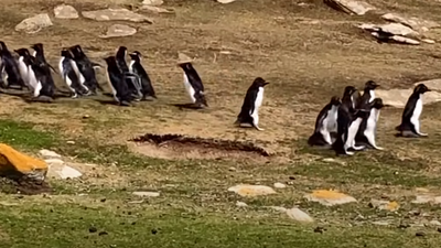 """""""البطريق الحائر"""" ارتكب خطأ غريبا.. و""""صديقه"""" يتدخل"""