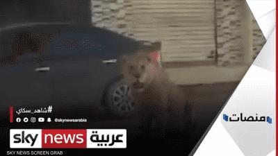"""أسد بنغازي """"الهارب"""" يشعل مواقع التواصل في ليبيا"""
