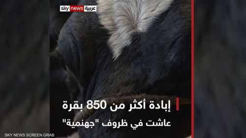 """إبادة أكثر من 850 بقرة عاشت في ظروف """"جهنمية"""""""