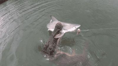 """تمساح يحطمُ """"كبرياء"""" القرش.. اصطاده بعناد أمام عدسة الكاميرا"""