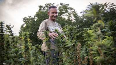 """بالأرقام.. هذا ما سيجنيه اقتصاد المغرب من """"زراعة الكيف"""""""