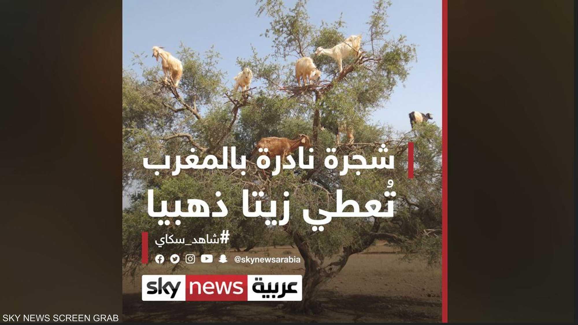 شجرة نادرة بالمغرب تُعطي زيتا ذهبيا