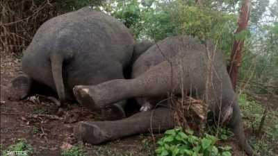 مأساة تفطر القلب: صاعقة برق تقتل 18 فيلا في ثوان