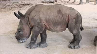 الوليدة الجديدة من وحيد القرن.