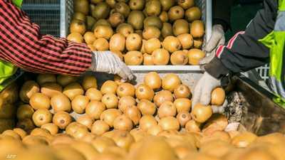 """""""حرب الكيوي"""".. الفاكهة الذهبية تشعل نزاعا دوليا"""