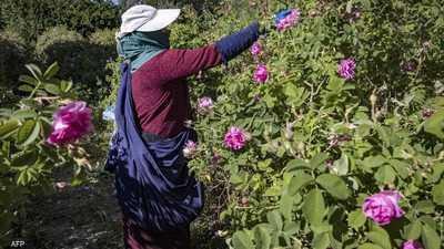 بني ملال.. مدينة مغربية تحارب البطالة بزراعة الورود