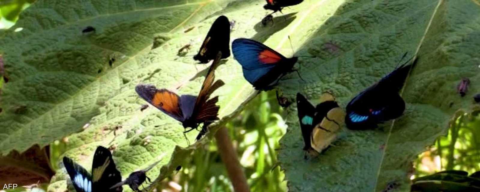الفراشات الكولومبية
