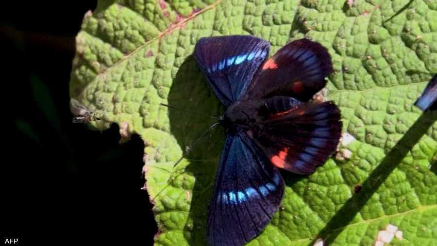 تعد الفراشات ملقحات حيوية في النظام البيئي، كما أنها مصدر مهم للغذاء للطيور والثعابين.