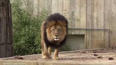 حديقة حيوانات واشنطن.. أسود ونمور أصيبت بفيروس كورونا تتعافى