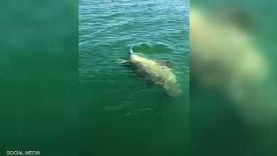 """بالفيديو.. """"هامور"""" عملاق يلتهم """"وحش البحار المرعب"""""""