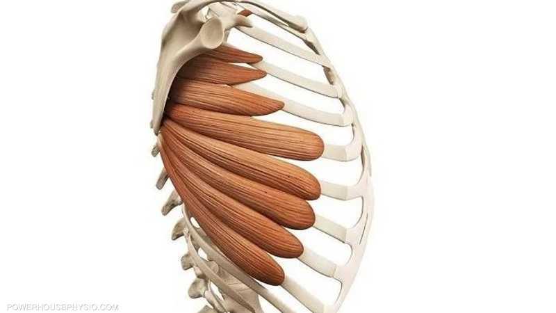 العضلة المنشارية الأمامية