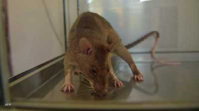 هكذا دخلت.. فئران عملاقة تغزو المنازل البريطانية