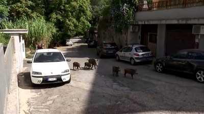 فيديو.. الخنازير البرية تغزو العاصمة الإيطالية روما
