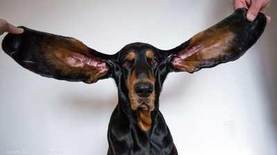 """بالصور: كلب يدخل موسوعة """"غينيس"""" بفضل طول أذنيه"""