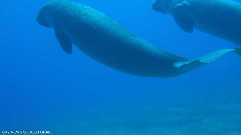تضع أنثى عروس البحر عادة مولودا واحدا في الماء